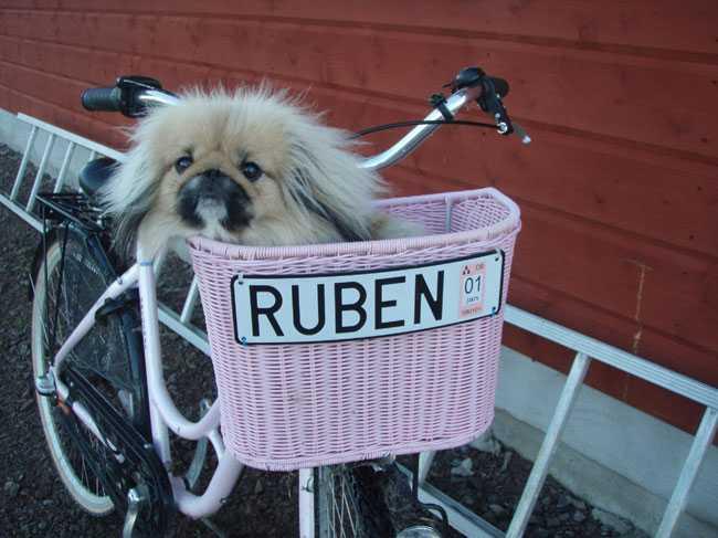 Ruben är en blandning mellan Pekingese och King Charles Spaniel. Han är en riktig clown som får alla att skratta. Han älskar att åka cykel till stallet, berättar ägarna Rebecka Werstén och Mårten Wärnström i Mantorp.