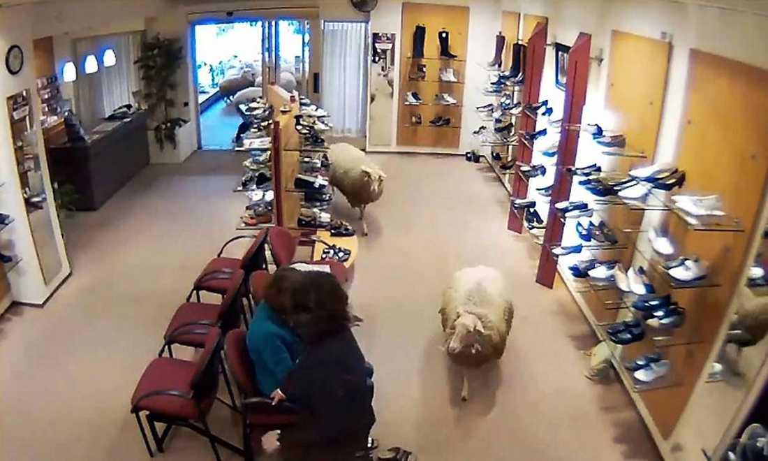 """Få(r)fänga kunderEn flock får skulle vallas genom nederländska staden Barnevald till en utställning. Men när herden hamnade på efterkälken passade två av fåren på att slinka in på den lokala skobutiken i jakt på ett klipp (?). """"Jag blev verkligen uppskrämd"""", säger butiksbiträdet Bieke Tjon."""