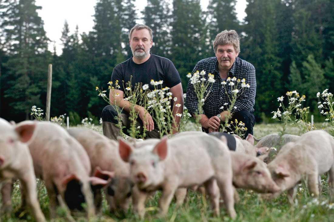 Grisbonden Mats Schörling, här tillsammans med sin bror Tomas, har fått 64 grisar stulna från sin gård i Vingåker.