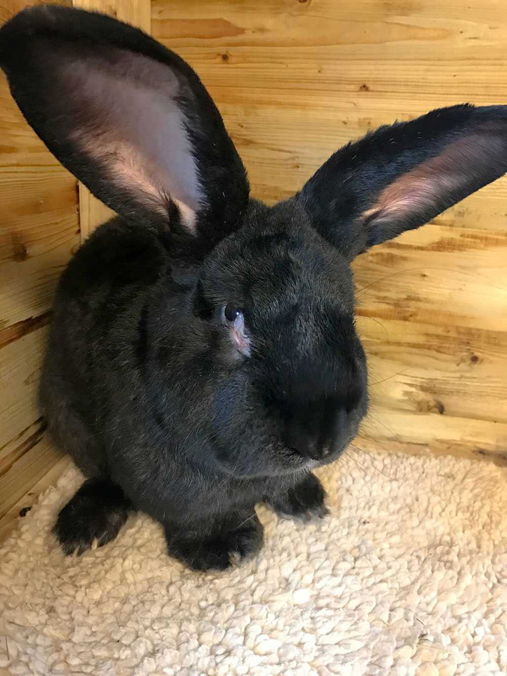 Kaninen Simon