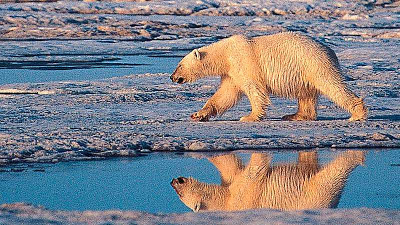 Isbjörnarna hotas av den globala uppvärmningen.