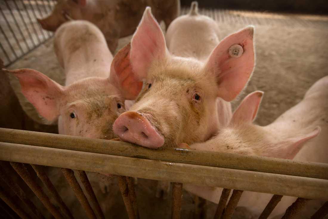 Ett utbrott av den afrikanska svinpesten kan ha lett till pandemin, misstänker forskare.
