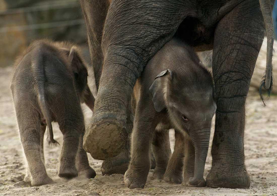 Tvillingfödslar är sällsynta bland elefanter. På bilden syns elefantsyskon på en djurpark i Berlin.