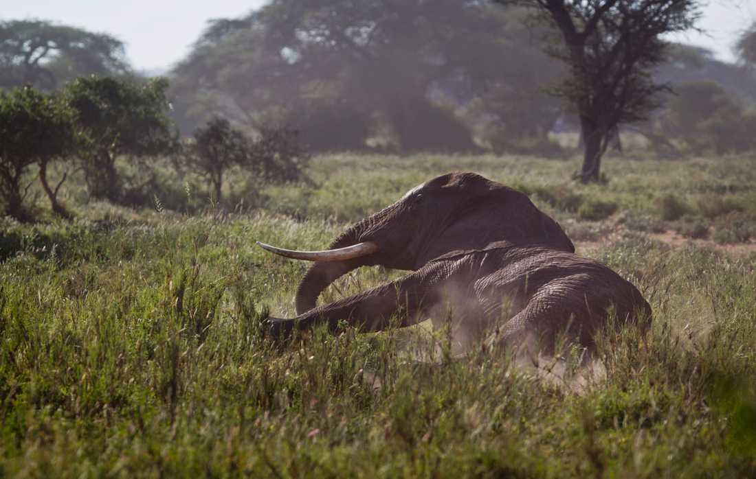 WWF är en av de organisationer som bekämpar tjuvjakt på utrotningshotade arter, bland annat elefanter, som jagas för sina betar. Arkivbild från Kenya.