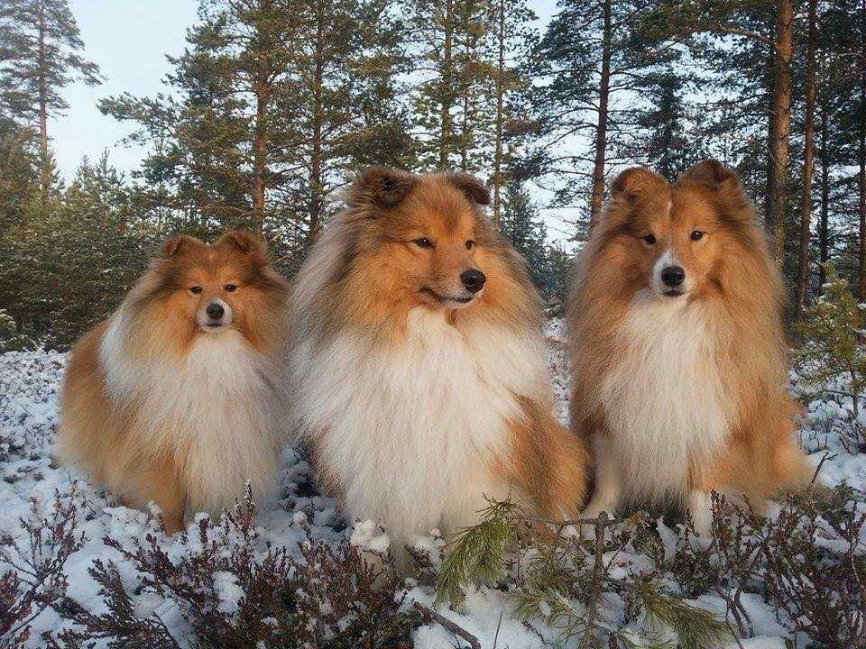 Åsa Hedlöf har tre shelties – Boss, Olle och Ozzy.
