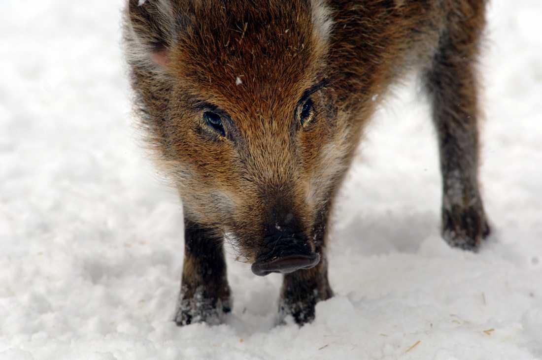 Jägaren trodde han såg ett vildsvin och avlossade sin bössa. Men han misstog sig och sköt en hund i stället. Arkivbild.