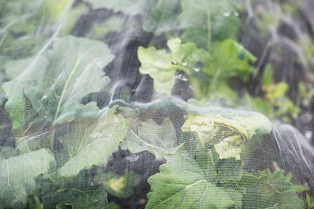 Skydda kålen med en växtduk som släpper igenom ljus.