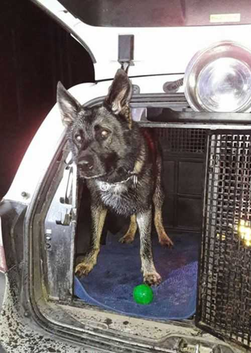 Attack – årets polishund.