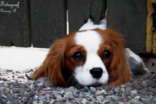Mindy är 1,5 år och Cavalier King Charles Spaniel. Hon älskar attbusa i snön, jaga boll,äta gobitar ochsova under täcket. Matte och husse heter Pär & Maud Aronsson och bor i Åkers Styckebruk.