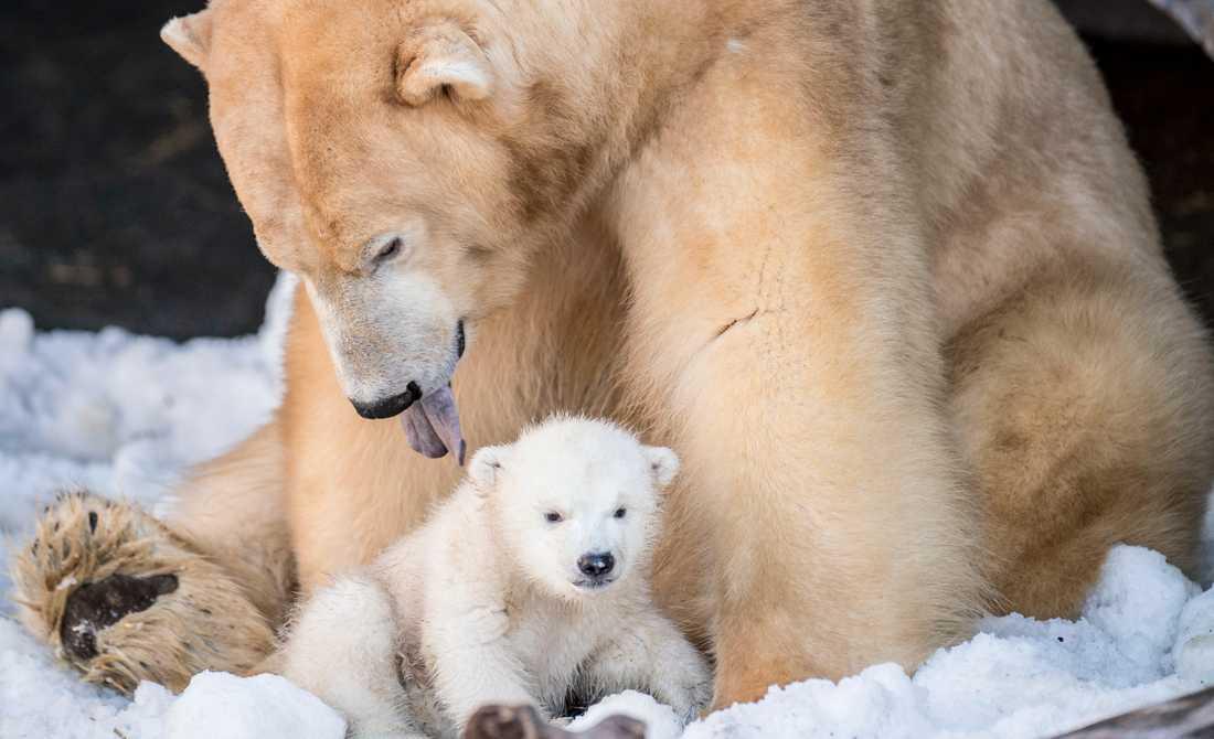 Isbjörnar på Köpenhamns zoo. Arkivbild.