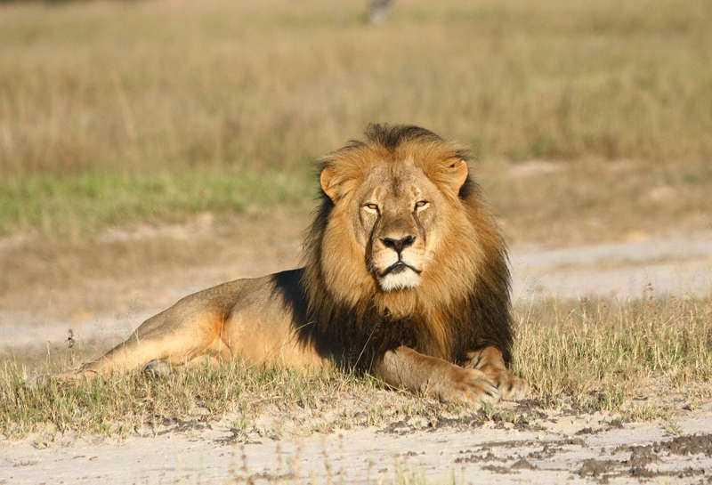 Nätet kokar efter att lejonet Cecil sköts av en amerikan i Zimbabwe. Det var klantigt och möjligen kriminellt, men legal jakt är något helt annat. Den legala jakten kan inte bara stoppa tjuvjakt utan rentav främja det vilda livets fortbestånd i Afrika.