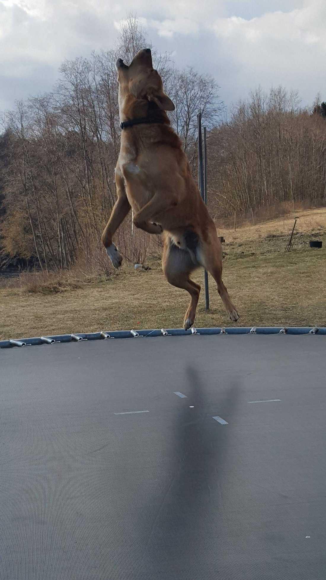 Sune älskar att hoppa studsmatta.