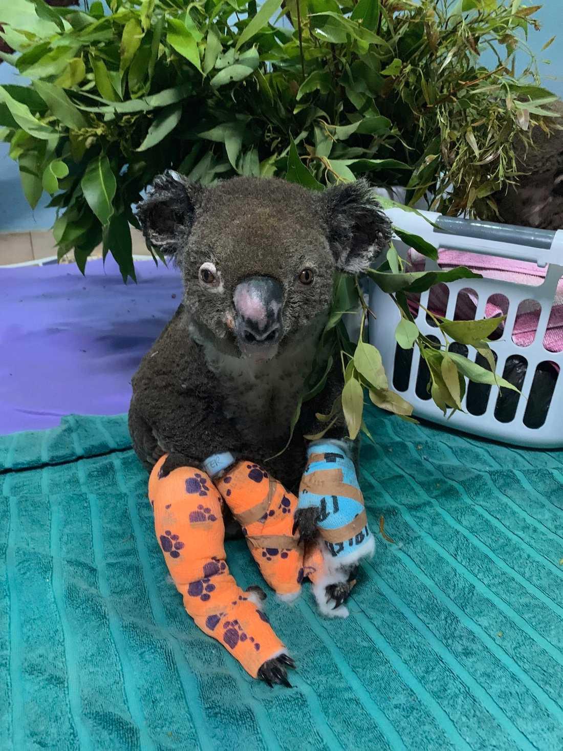 Den brännskadade koalan Peter har fått behandling.
