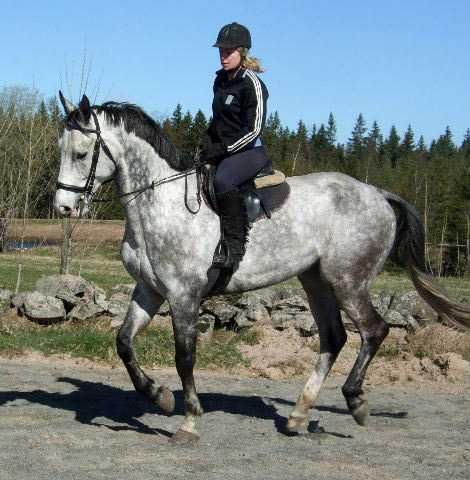 Christina Sandahls häst Calypso överfölls och skars i ändtarmen