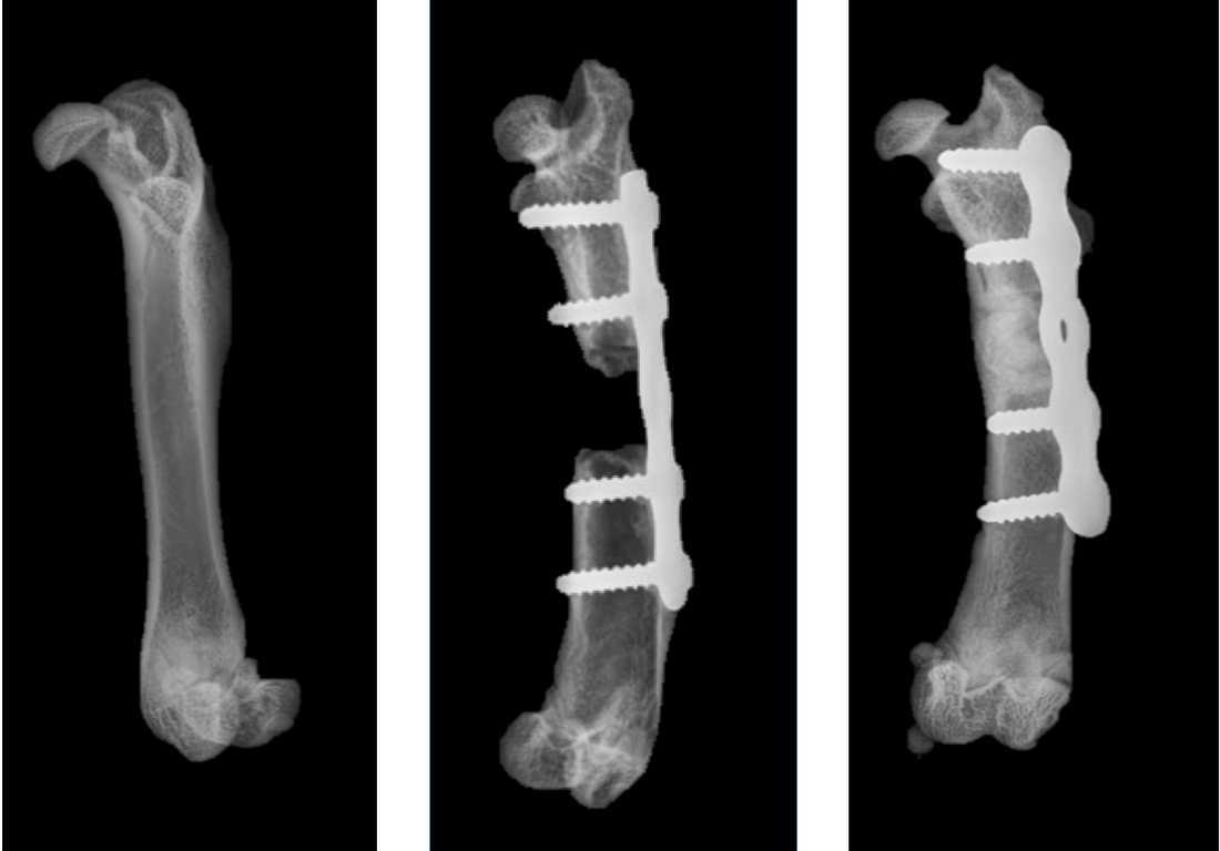Röntgenbilderna från studien visar ett friskt lårben av en råtta jämfört med en fraktur som behandlas utan och med den nya metoden.