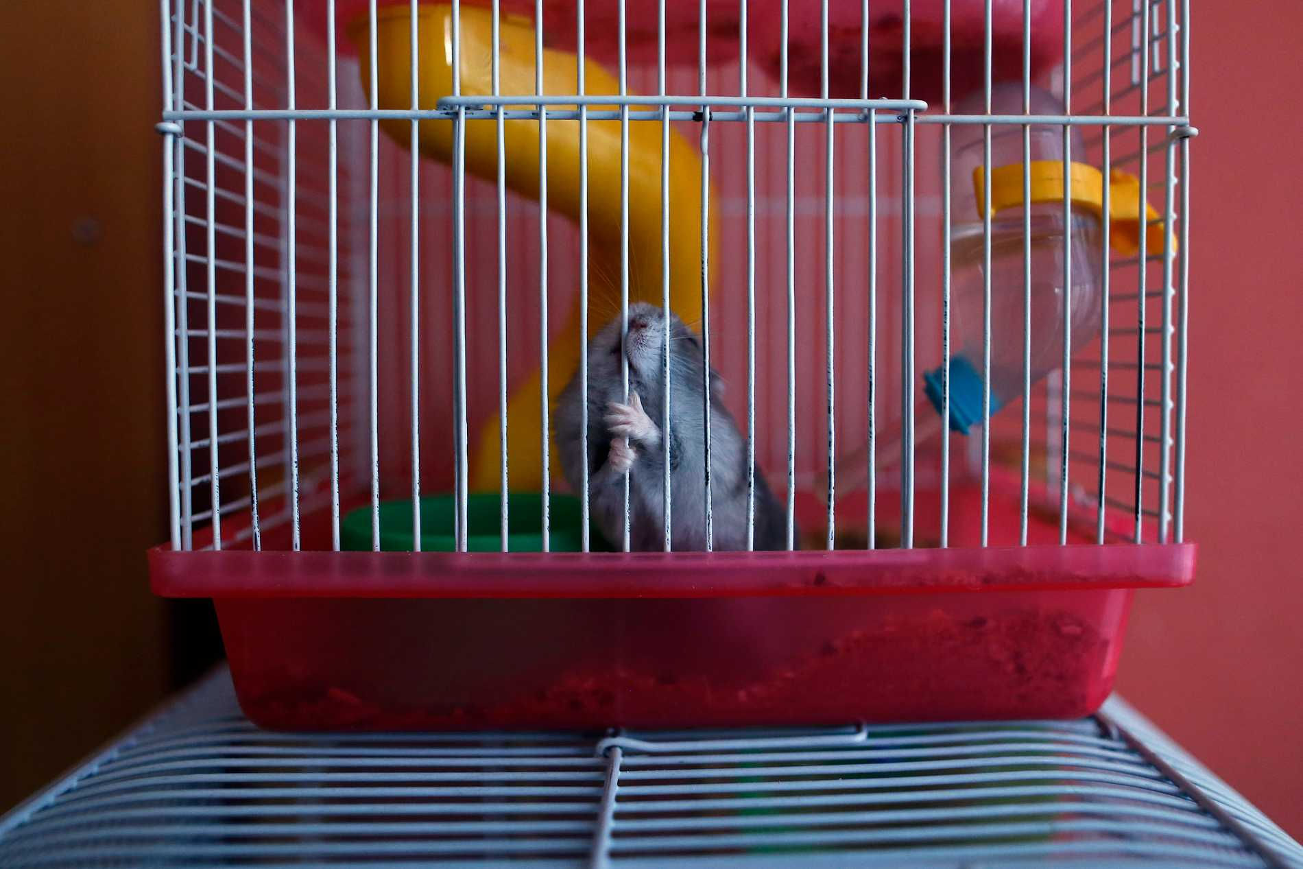 En annan hamster. Arkivbild.