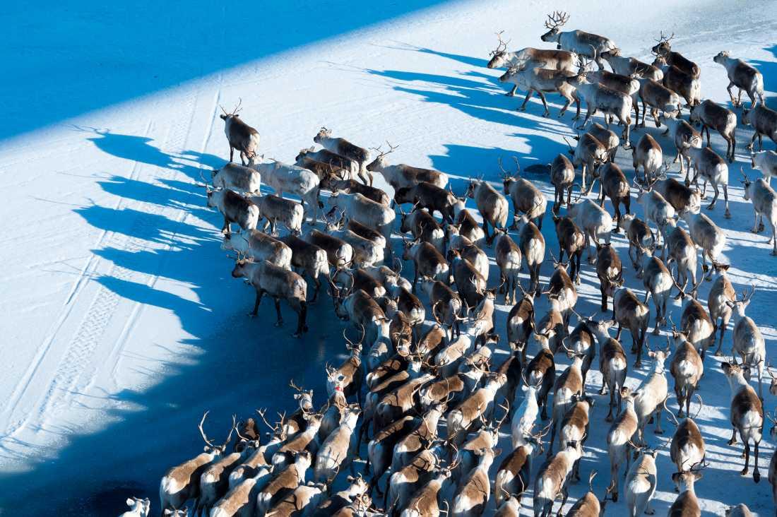 Renar från Grans sameby vandrar längs Vindelälven på väg till sommarbetet ovanför Ammarnäs. Arkivbild.
