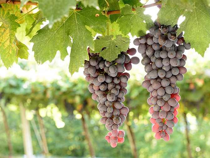 Amarone kommer från distriktet Valpolicella, som  ligger precis norr om Verona i det bördiga Veneto i nordöstra Italien.