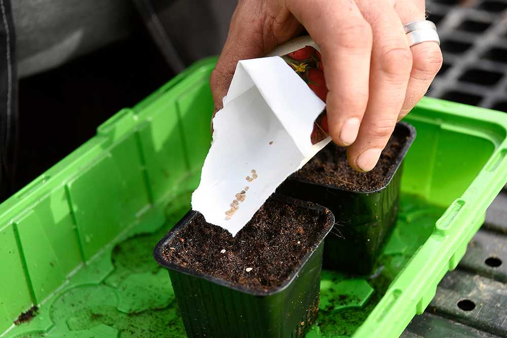 Plantera inte alla frön på en gång. Plantera i omgångar.