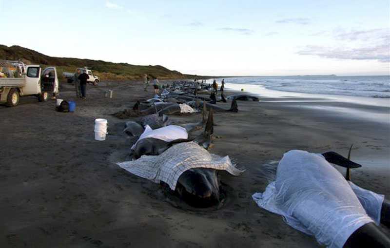 Täcks över För att valarna och delfinerna skulle hålla sig svala, täckte hjälparbetarna över dem med våta tyger.