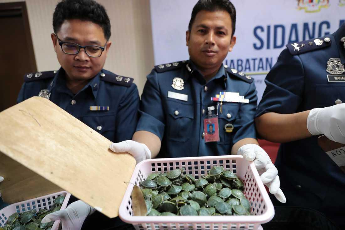 Bagaget innehöll 5 255 stycken sköldpaddor.