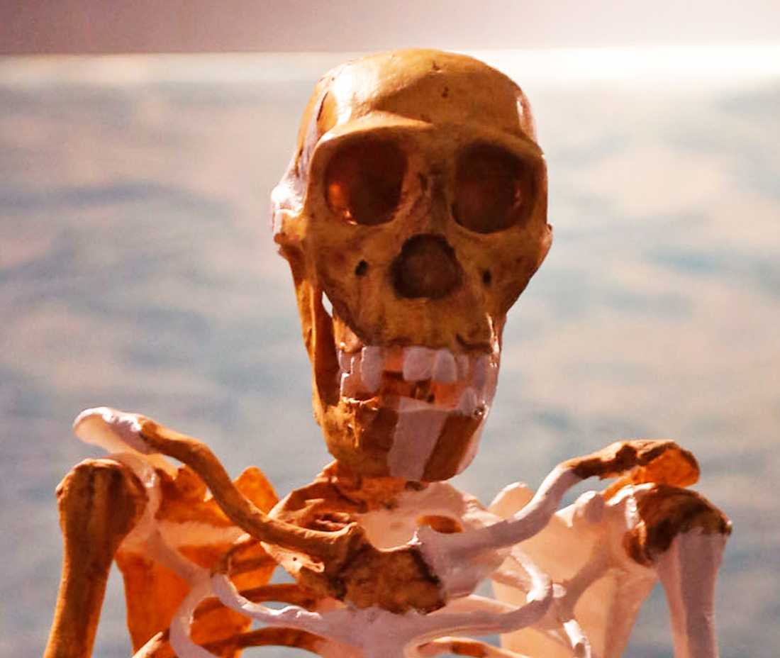 En replika av Australopithecus sediba.