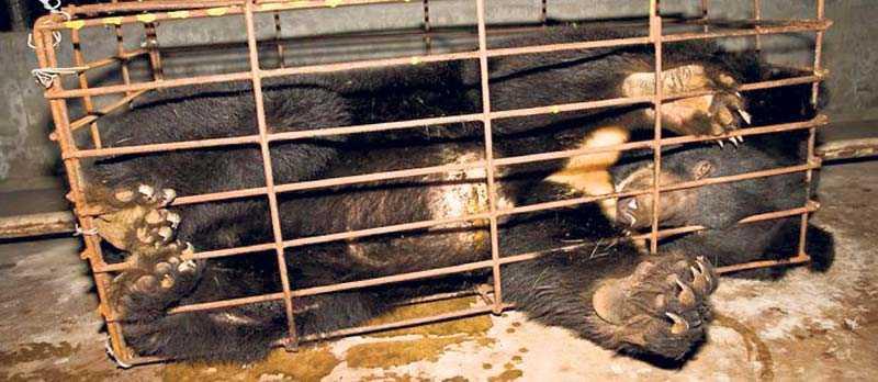 Kragbjörnar avlas i fångenskap och tappas på galla genom en kateter.