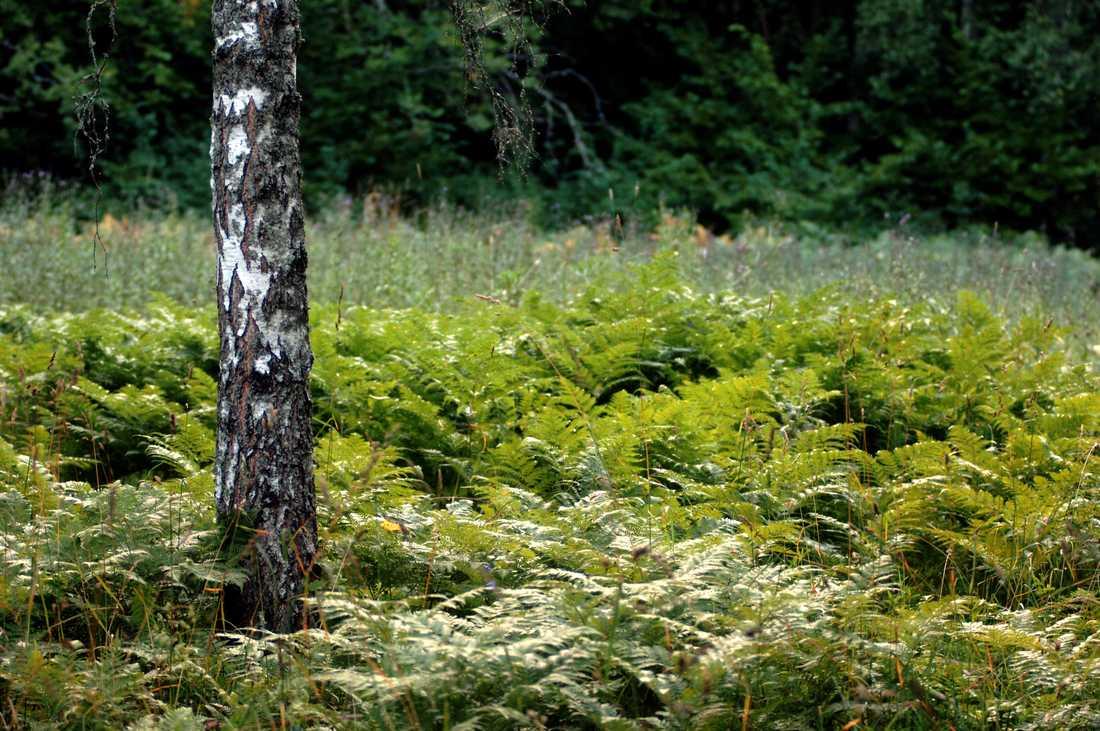 För runt 450 miljoner år sedan började växtligheten utvecklas på land och ny forskning visar att det kanske startade i det som i dag är södra Sverige. Arkivbild.