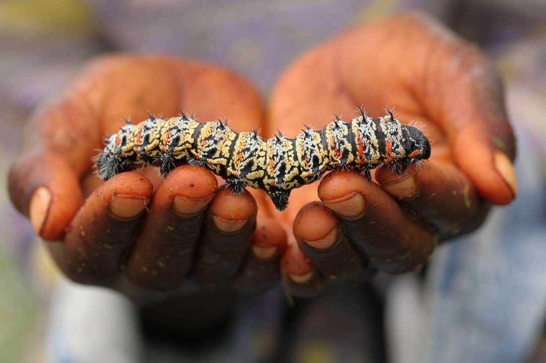 Mopanelarver anses vara en delikatess i delar av Afrika. Arkivbild.