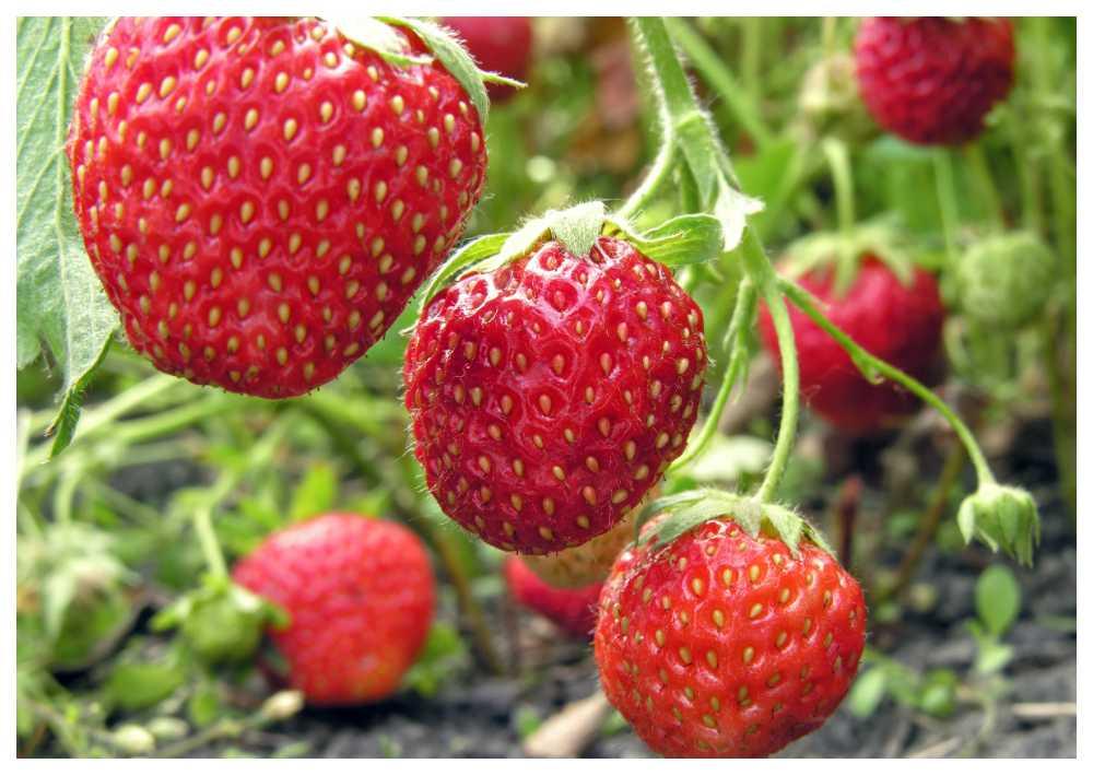 Söta jordgubbar – skydda dem mot rådjur och fåglar.