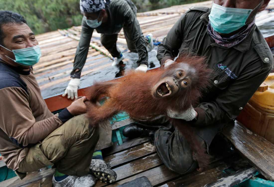 En orangutangunge som räddats tillsammans med sin mamma i Kalimantan efter en stor skogsbrand 2015. Arkivbild.