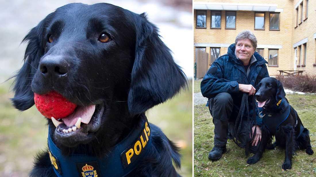 Hunden Brasse har just certifierats som spermahund. Här tillsammans med sin älsklingsboll och sin hundförare Jan-Olov Bäckman.