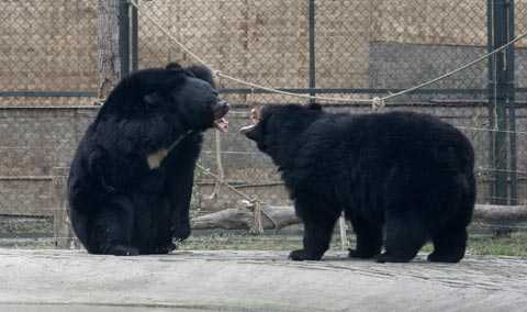 Två räddade svartbjörnar tar pulsen på varandra på räddningscenter utanför Chengdu.