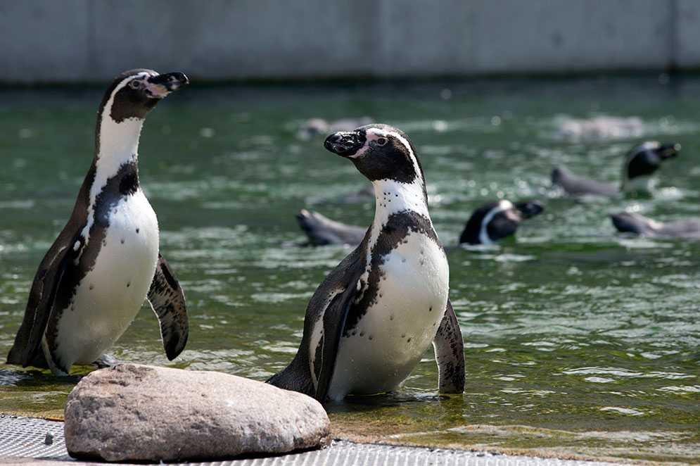 Pingviner i Slottsskogen i Göteborg.