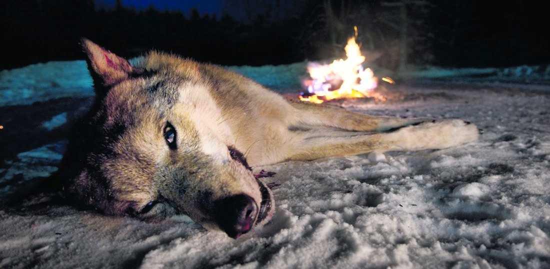 Nästa år kan ytterligare 60 vargar skjutas för att regeringens mål ska nås.