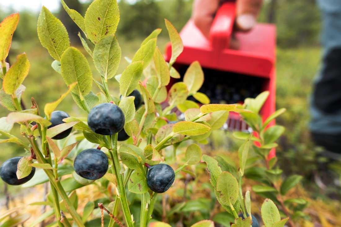 Över ett ton blåbär stals. Arkivbild.