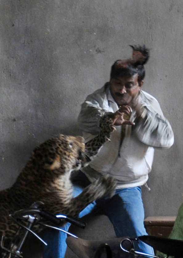 Tre skadades När leoparden gick till attack.