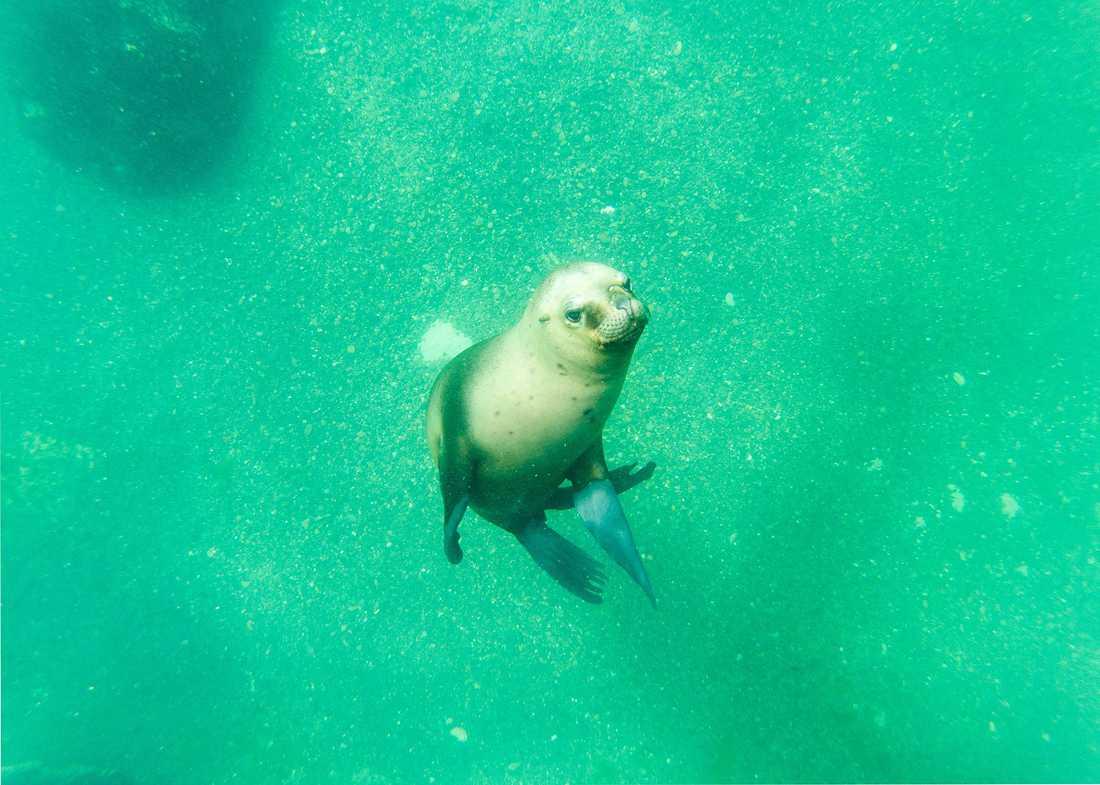 Joakim Laggar har hittills hunnit simma med sjölejon i  Argentina.