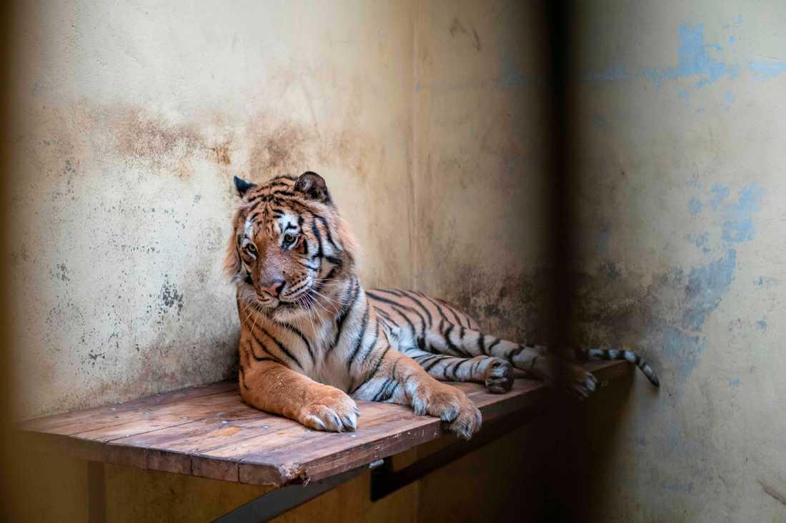 En av de tigrar som hittades i en lastbil vid gränsen mellan Polen och Vitryssland. Tigrarna befinner sig nu i en djurpark där de håller på att återhämta sig.