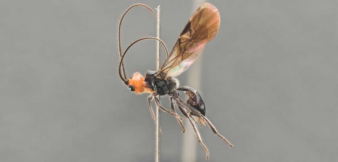 Den här nyupptäckta parasitstekeln, döpt till Eadya daenerys, attackerar vissa typer av skalbaggar. Den har fått sitt artnamn efter Daenerys Targaryen, en av huvudfigurerna i Game of Thrones.