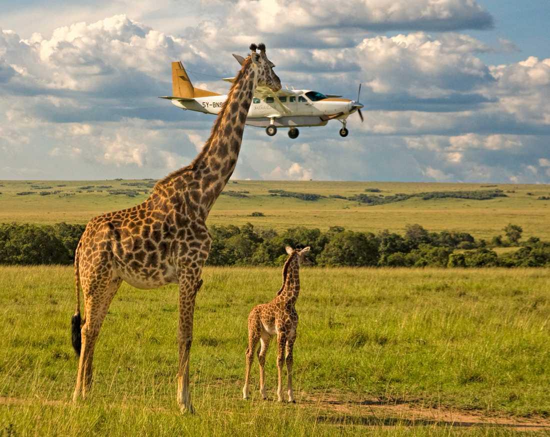 HALSBRYTANDE En giraff extrajobbar som flygledare i Masal Mara, Kenya. Graeme Guy tog bilden.