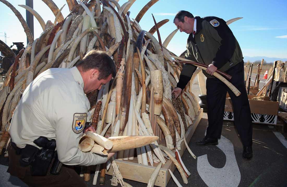 Inspektörer från USA:s Fish and Wildfire Service visar upp elfenben innan den krossas.