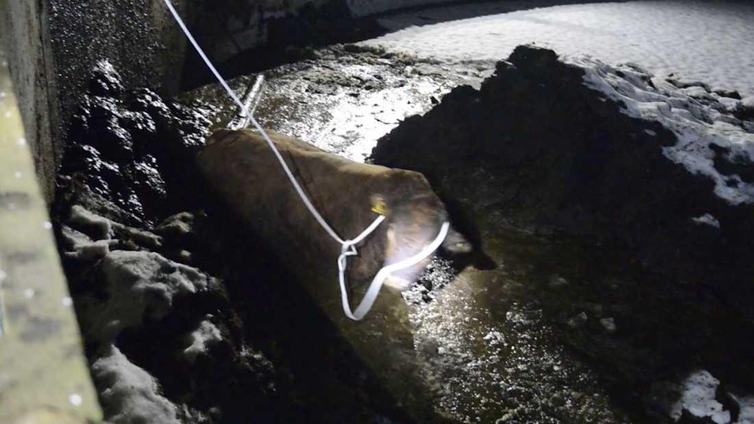 Tjuren Internet fastnade i gödselbrunnen i flera timmar.