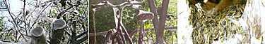 Malens spinn är kladdigt och de kan väva in saker som står i närheten av träden, såsom till exempel cyklar. Längst till höger syns larverna som spinner väven.