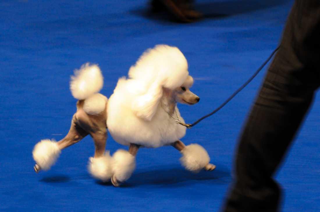 Svenska Kennelklubben beslutade på tisdagen att förlänga stoppet för norska hundar på svenska utställningar, prov och tävlingar. Beslutet gäller tills vidare. Arkivbild.