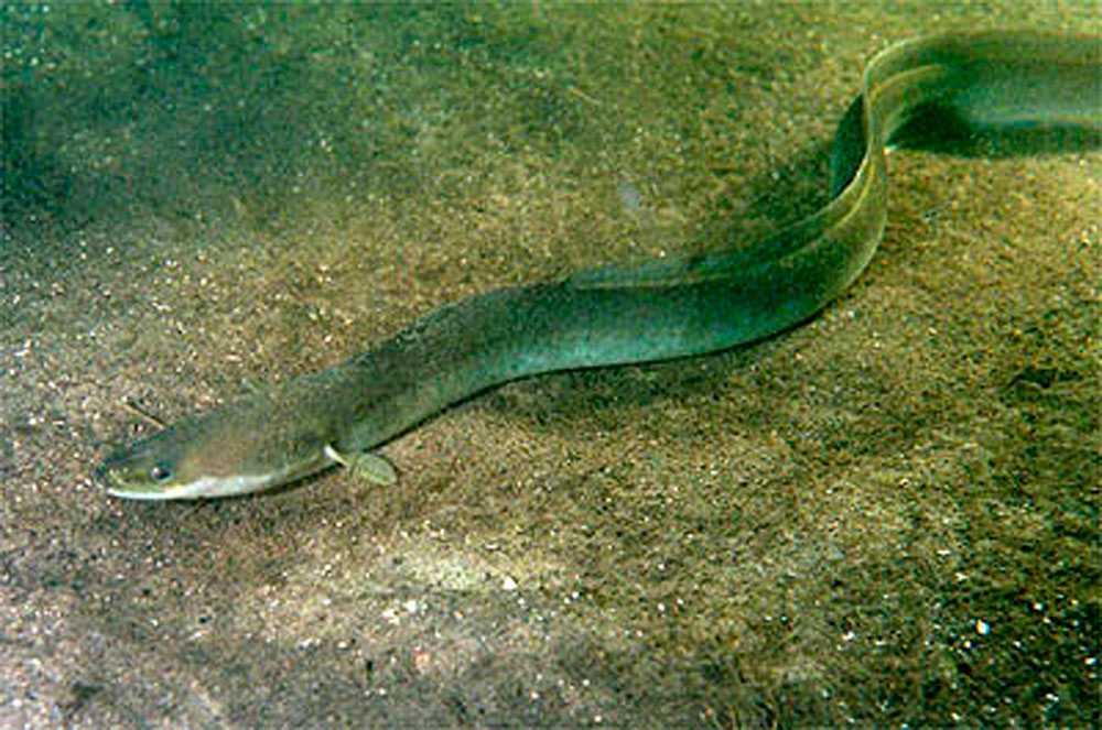En helt annan ål