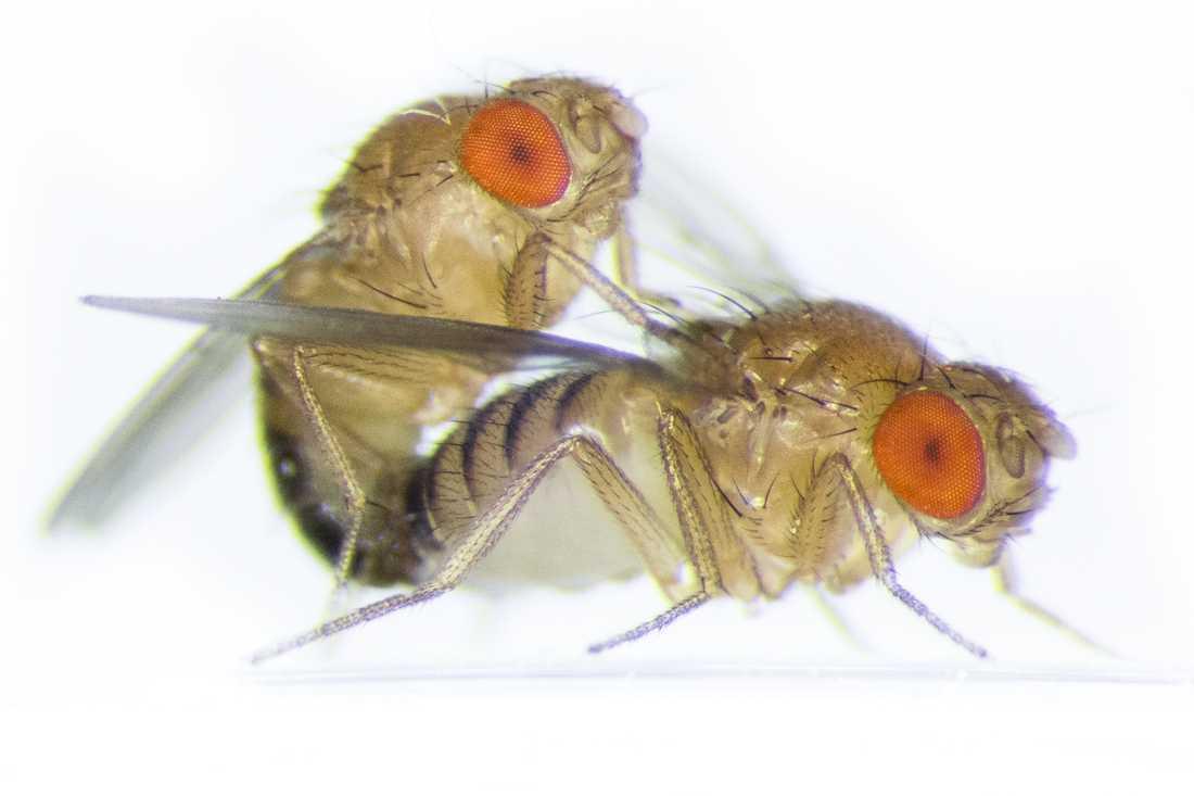 Även bland bananflugor lever hannen (till vänster i bild) betydligt kortare än honan.