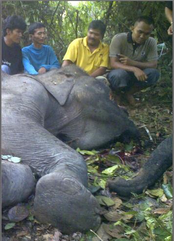 Jakten på elefanter har aldrig varit så intensiv som de senaste åren.