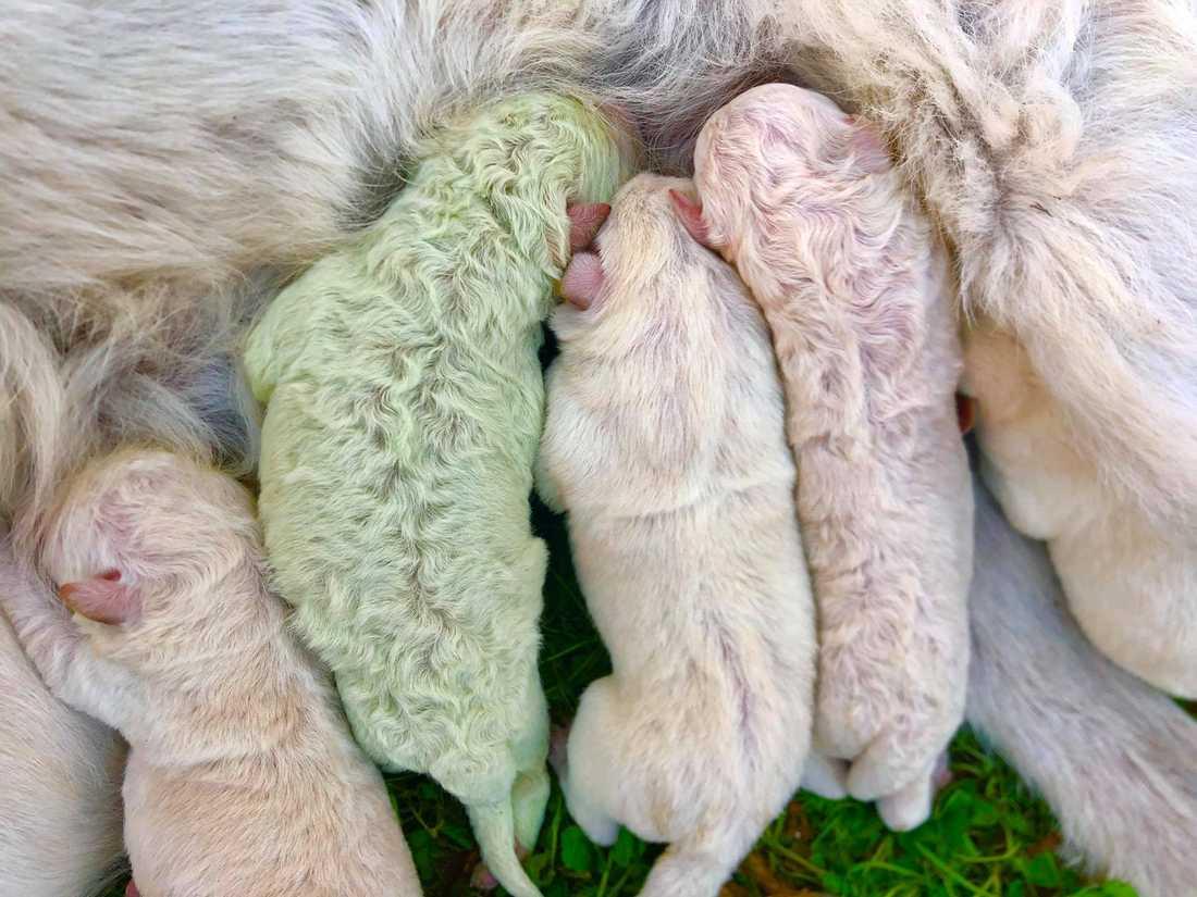 Fyra av valparna såg precis ut som sin moder, men den femte valpen föddes med grön päls.