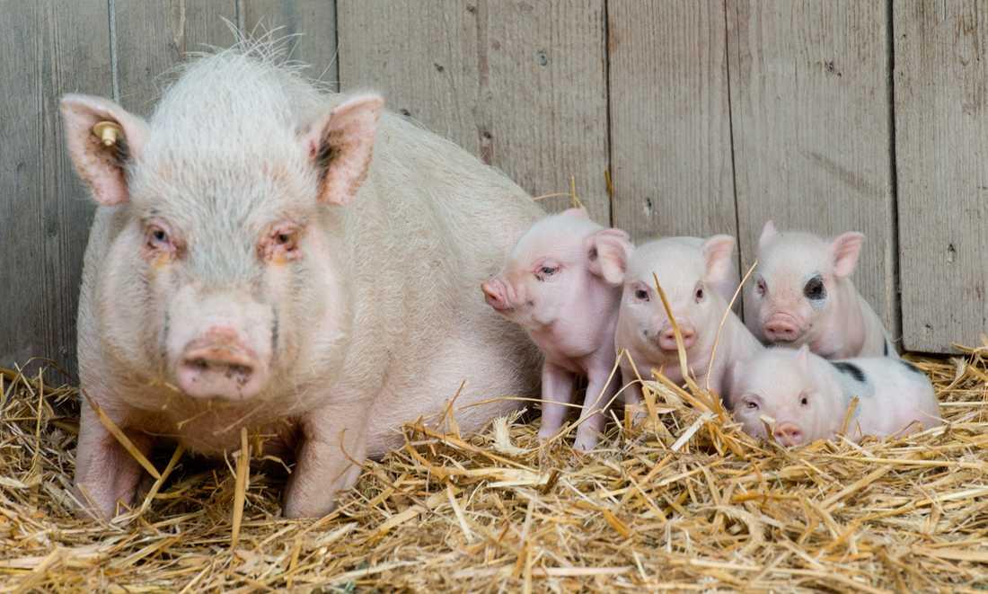 NDT utvinns ur grisars sköldkörtlar.
